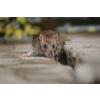 供应郫县灭鼠公司、彭州灭鼠公司、新都灭鼠公司