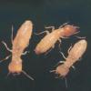 供应成都新都灭白蚁公司、新都白蚁防治公司、新都灭飞蚂蚁公司