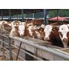 供应买牛价格买小牛多少钱一头