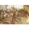 供应七彩山鸡效益养殖与繁育技术交流