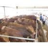 供应改良育肥利木赞牛出售