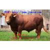供应肉牛市场行情利木赞牛养殖视频利木赞牛肉牛