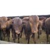 供应利木赞小牛崽价格 利木赞小牛崽价格