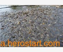 供应遂宁泥鳅养殖的前景