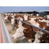 供应近期出栏一批优质鲁西黄牛、西门塔尔肉牛、利木赞肉牛、夏洛莱肉牛