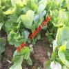 供应青苋菜种子 野菜种子 野菜种子