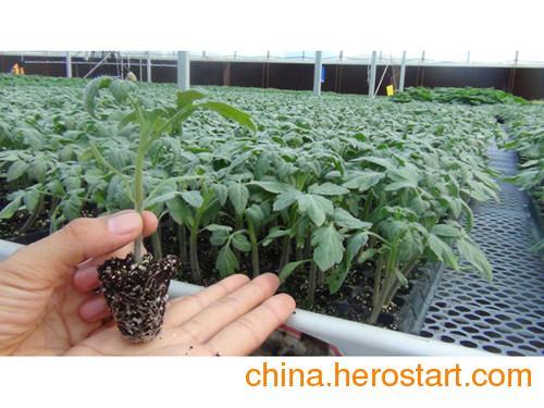 供应质量最好的嫁接西红柿苗 就在安信种苗