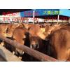 供应利木赞牛养殖场  小牛犊  肉牛犊