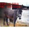 供应阿胶肉驴养殖价格
