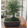 供应造型文竹盆景