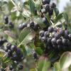 供应黑果腺肋花楸提取物10:1