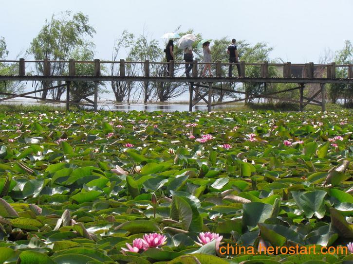 供应山东地区水生植物