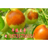 供应出售早脆王枣苗|矮化早脆王枣种植管理|早脆王枣幼苗管理方法|早脆王花期管理措施