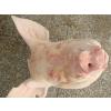 供应德国202冷冻猪头冷冻猪胫骨冷冻猪耳朵冷冻猪筒骨冷冻猪蹄