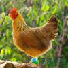供应广东清远鸡,柴鸡,土鸡多少钱,价格, 批发