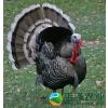 供应美国卡蒂纳火鸡,柴鸡,柴鸡蛋多少钱,价格,批发