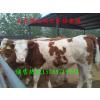 供应哪里有肉牛养殖场.肉牛犊价格