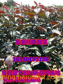 供应红叶皇室经典海棠苗