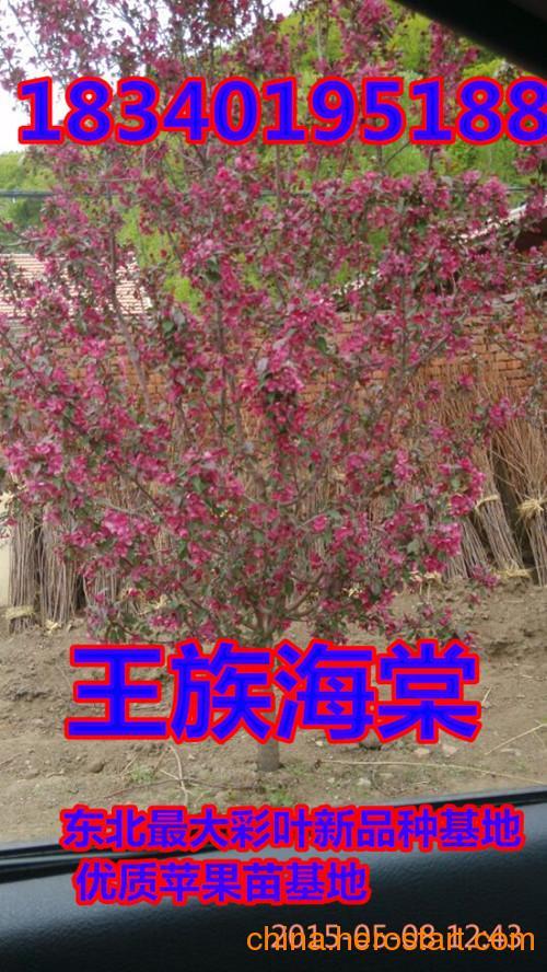 供应九台红叶海棠,80红叶海棠苗