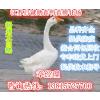供应鹅苗价格行情丨扬州大白鹅苗价格丨白罗曼鹅苗价格