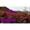供应红叶李苗——大量太阳李-大量密枝红叶李苗