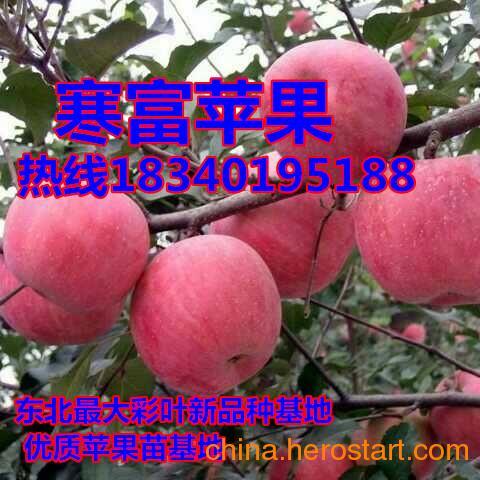 供应长春苹果苗;矮化鸡心果苗;矮化寒富苹果苗