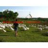 供应定安鹅吃的饲料青料种植hn-mc优优燕麦草种子
