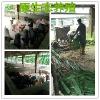河池可靠的桂园香土猪供应商推荐 广西桂园香土猪