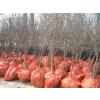 供应陕西安徽浙江软籽石榴树苗多少钱一棵