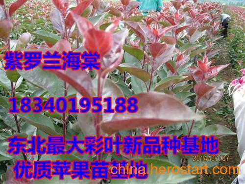 供应金叶糖槭苗,低价金叶糖槭苗,红叶李苗