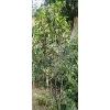 【专业栽植】绿化树 泉州绿化树批发 辉鸿花卉 自己园林