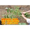供应凤冈核桃苗种植步骤,凤冈核桃苗种植技术,凤冈核桃苗种植方法