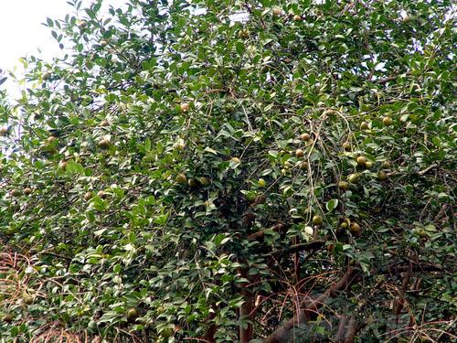 供应长林系列油茶接穗枝条