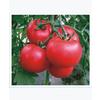 供应金冠58号西红柿种子