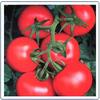 供应国萃王冠 F1西红柿种子