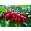 供应樱桃树苗、优质大樱桃树苗、山东樱桃树苗