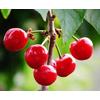 供应针叶樱桃提取物-樱桃维C