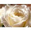 供应白玫瑰