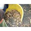供应安徽徽强8号泥鳅张仁泥鳅养殖