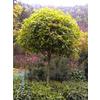 供应网上热卖-桂花树产品-长沙8公分桂花树-长沙桂花树苗木