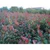 供应特供湖南红叶石楠红叶石楠小苗价格湖南红叶石楠图片红叶石楠球