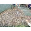 供应养殖泥鳅肥西养殖泥鳅安徽养殖泥鳅
