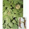 供应植物提取物刺五加甙0.8%、1.3%
