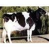 供应出售奶牛。肉牛