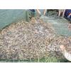 供应安徽泥鳅养殖肥西泥鳅养殖