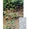 供应植物提取物-半夏提取物