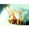 供应北虫草种植技术/北冬虫草种植