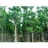 惠瑞生物/供应/纯天然银杏提取物24%/6%/银杏24%6%/银杏黄酮/银杏叶提取物/专业生产厂家