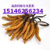 供应高价回收冬虫夏草15146256234高价回收鲍鱼海参