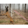供应山东马犬养殖场 马犬俱乐部 马犬价格 一条小马犬多少钱